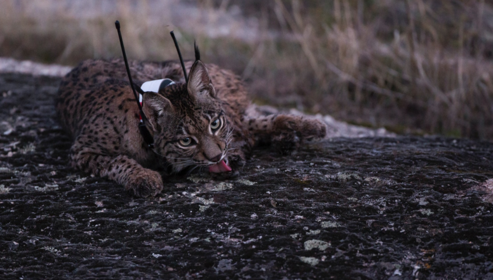 A young female lynx sports a GPS collar. Each is patterned differently for easy identification in the field.
