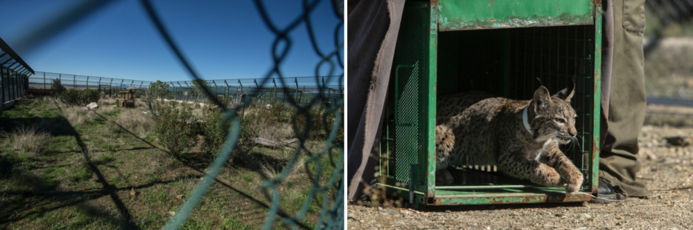 LEFT: A breeding enclosure at the Extremadura Iberlince project. RIGHT: A newly collared cub is released.