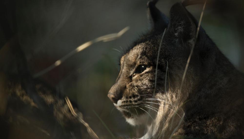 A wild female Iberian lynx.