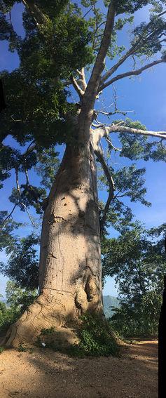 La Cansona's bullet-scarred ceiba tree.Juan Salazar,Author provided