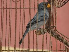 A mochuelo bird in captivity.Jdvillalobos,CC BY