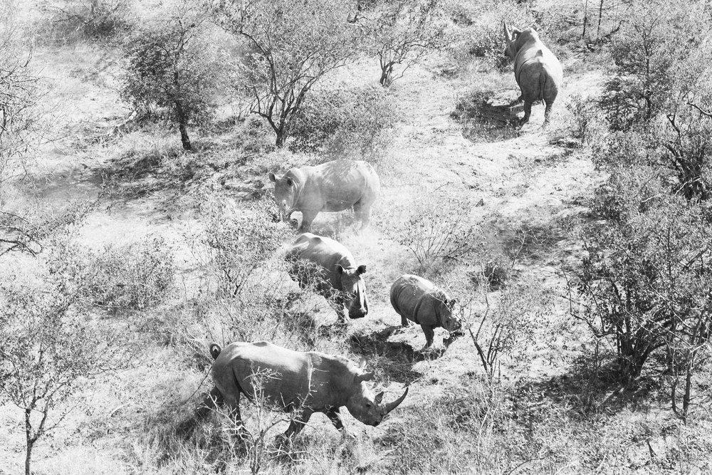 A rare herd of rhinos seen from a light aircraft | Photo by Corey Wilson @corey_wilson