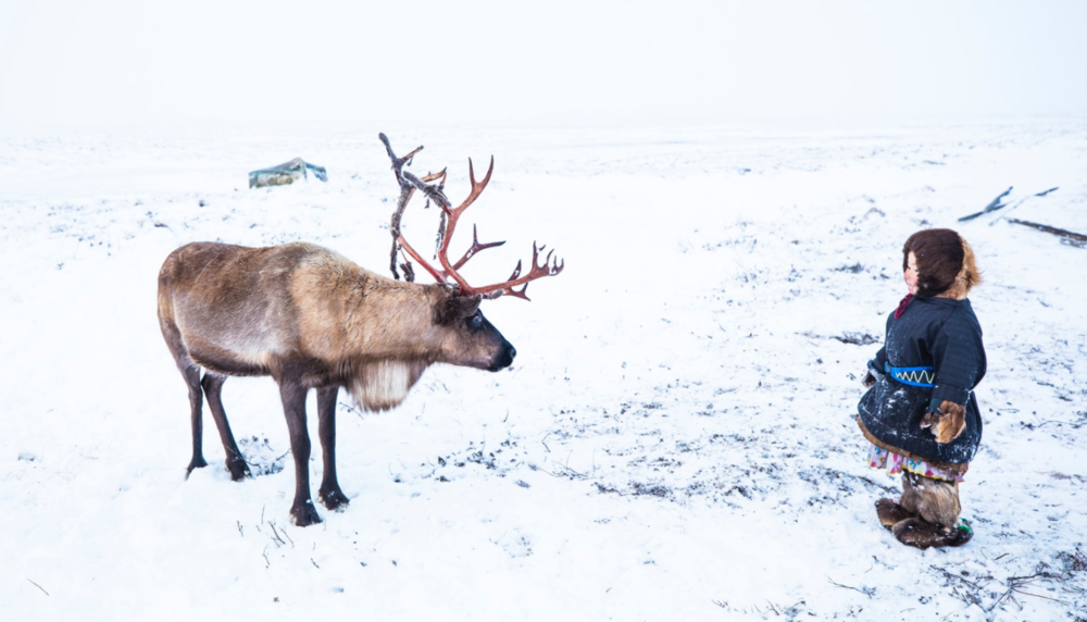 It is common for Nenets families to raise an orphan reindeer inside their chums, hand feeding the youngster until they are mature. Even after these reindeer return to the herd, the Nenets often maintain an intimate relationship with these particular individuals.
