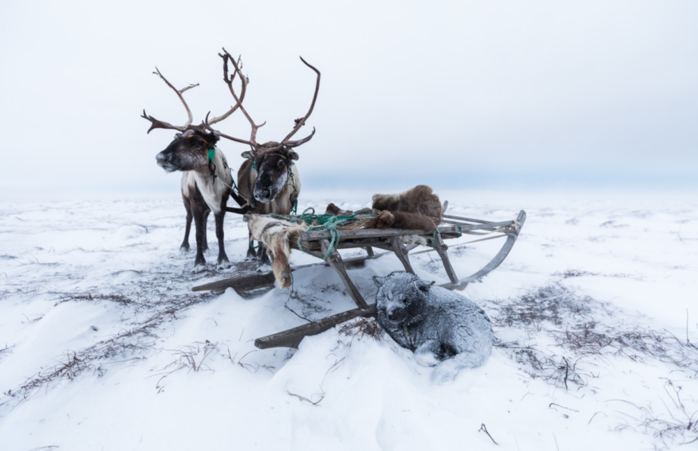 Handmade wooden sledges have been used by generations of Nenets as an efficient way to transport their belongings across the vast expanses of frozen tundra. Reindeer pull the often heavily-laden sledges, while the dogs guide alongside.