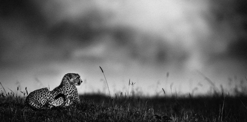 Above:Cheetah before the rain (2006)