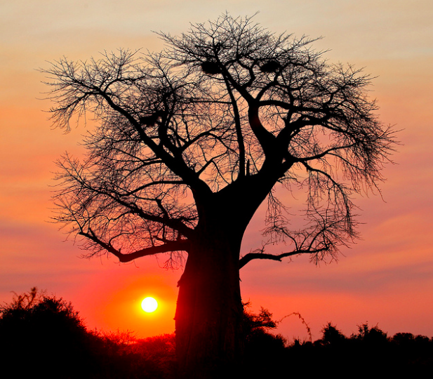 Baobab tree silhouetted against a Botswana sunset. Steve Jurvetson. CC 2.0