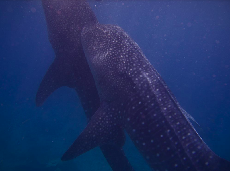 A  pair of Whale Sharks. Elias Levy. CC BY 2.0