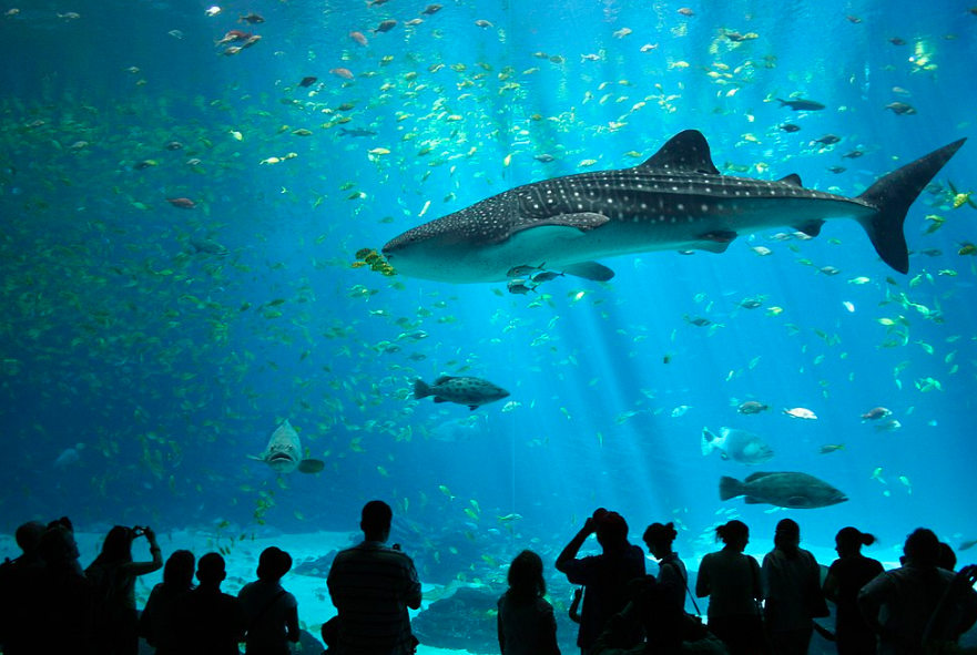 A Whale Shark at the Georgia Aquarium. Zac Wolf. CC BY-SA 2.5.