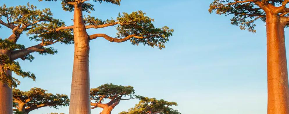 Like Dr. Seuss' imaginary truffula trees, baobabs are endangered. Dudarev Mikhail/Shutterstock.com