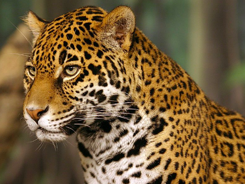 The jaguar is the third largest cat on the planet. Cburnett at English Wikipedia. CC BY-SA 3.0.
