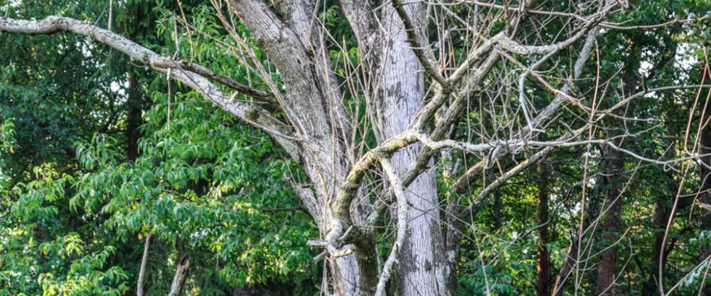 Ash tree killed by the invasive emerald ash borer. K Steve Cope
