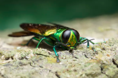 The emerald ash borer is destroying ash trees in 31 states.  Herman Wong HM/Shutterstock.com