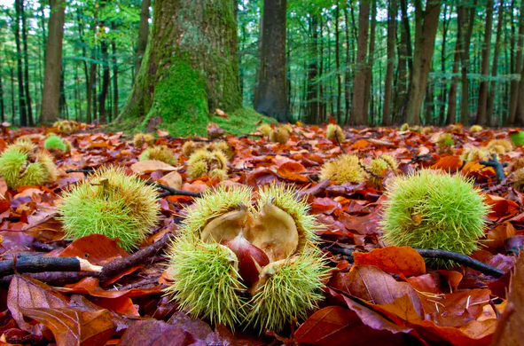 Chestnuts lying on the ground in autumn near a chestnut tree.  Peter Wollinga/Shutterstock.com