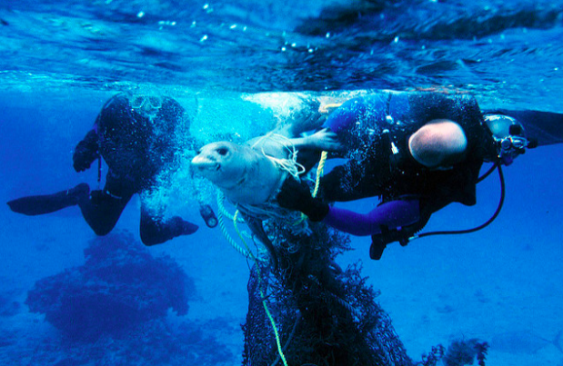 Divers free a seal from fishing nets. National Ocean Service. CC 1.0.