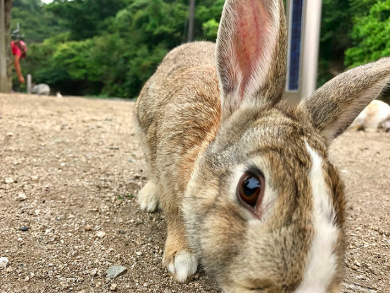 A curious bunny on Ōkunoshima seems to have mistaken the camera for a snack. Brian Shamblen. CC 2.0