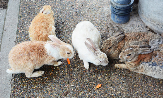 A cluster of bunnies on Rabbit Island. Cindy Pepper. CC BY-NC-ND 2.0