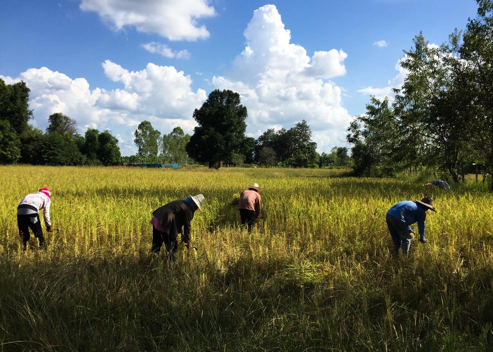 Rice_Harvest.jpg