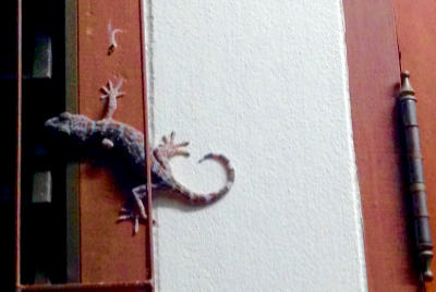 A tokay: a large lizard. See its size compared to the door hinge.