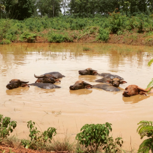 I shared this one via social media this week, but it was too good not to post again: water buffaloes cooling off in muddy waters.