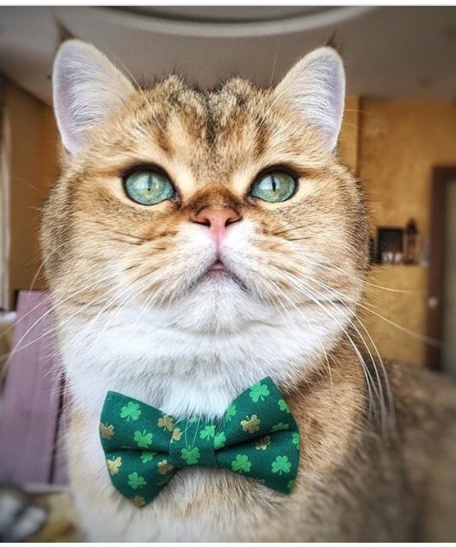 This is Jupiter looking super handsome in the Good Fortune Bow Tie. You can find this lucky fellow on instagram @jupiter_the_brit_cat.
