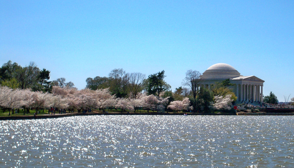 Tidal_Basin_blossoms_by_Matthew_Bisanz.JPG