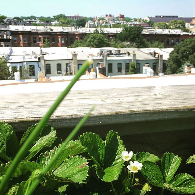 Fresh #strawberries and #chives from the rooftop garden of @katekinast  #brooklyngarden