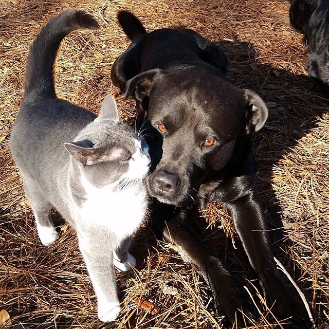 Badger Grayblade decided to make an appearance during treat time and show Saxon some love. #kitten #kitty #dogandcat #animalfriends #labmix #dogsofinstagram #cats_of_instagram #dog #positivedogtraining #duval #chowmix #rottweilermix #northflorida @poochpal @gohealthypaws @insta_dogs