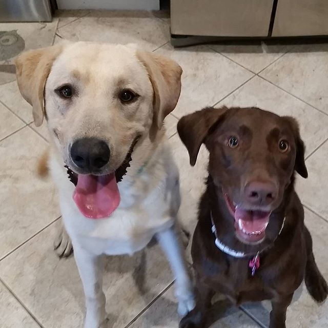 Finished a 3rd volunteer dog training session with Warren the yellow lab for Lab Rescue, pictured with his foster sister Finley. The progress he's made in 9 days with force free, positive reinforcement  has been incredible and I am proud of his foster parents! No leash jerks aka corrections, prong, choke or shock collars are needed to train a dog. No force, no fear, no pain! So glad to be able to give back. #Labrador #forcefreetraining #dogtraining #foster #adopt #volunteer