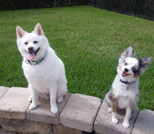 Cuties Finn the pomsky and Fiona the mini aussie #tongues_out #pomsky #miniaussie #dogsmiles