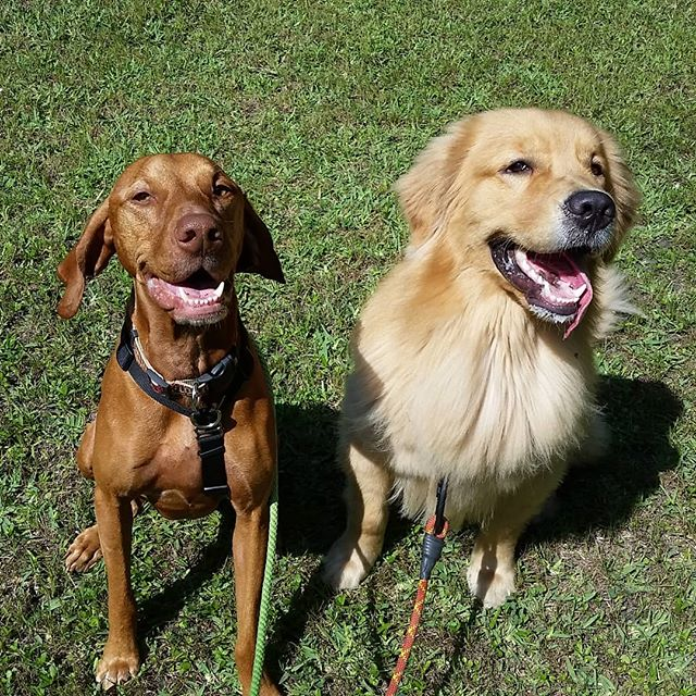 Bru and Samson, two total goofballs loving life :) #tongues_out #vizla #goldenetriever #dogsmiles @bruthebigreddog @amandalazo__