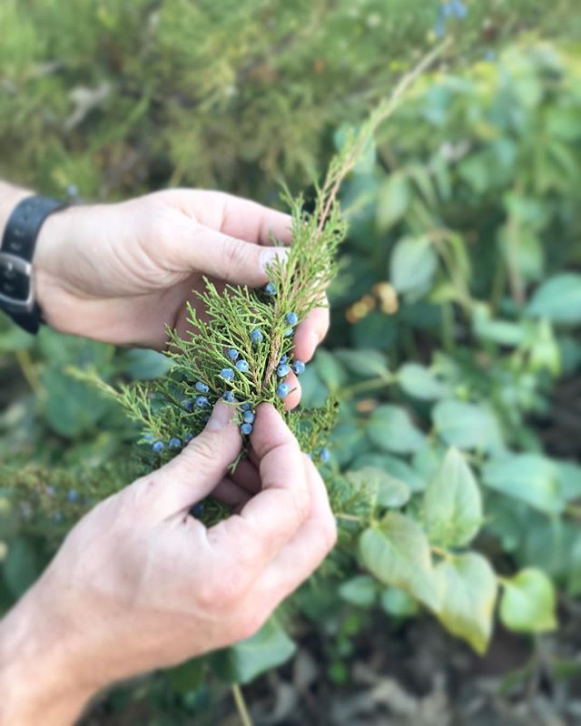 F I E L D  N O T E S | The Whale pulls over every time we see Wild Juniper on the coast. This VW bus is  developing some mad Juniper detecting skills. I smell G&Ts in our afternoon... #gin #gintonic #wildjuniper #foraging #sustainable #california #cocktails