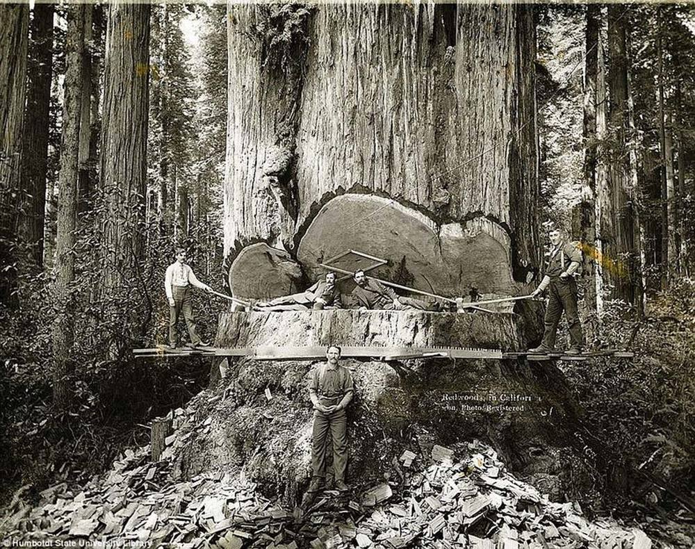 Late 19th century - felling a redwood with an axe
