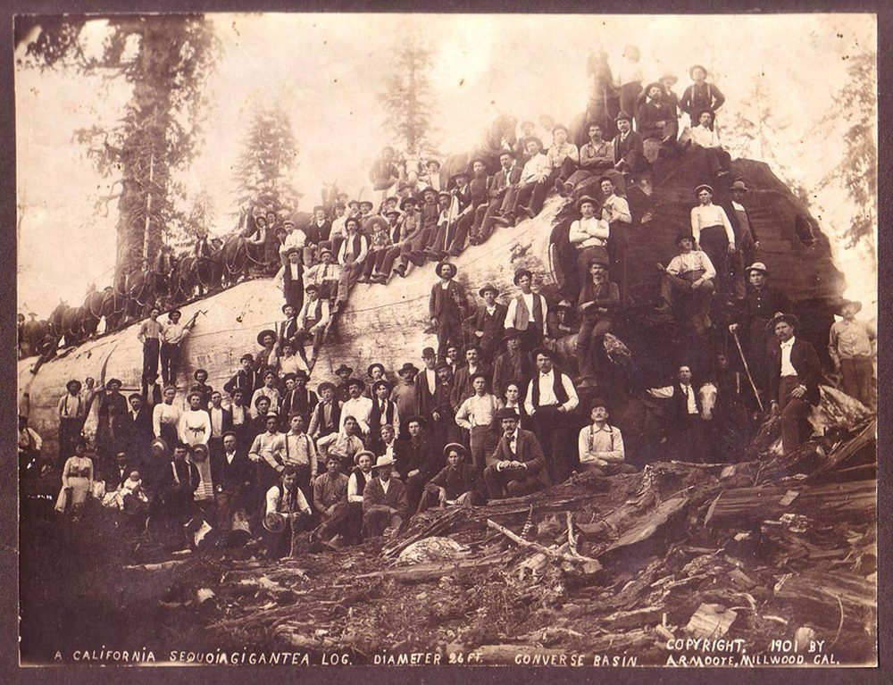 Late 19th century - felled redwood log
