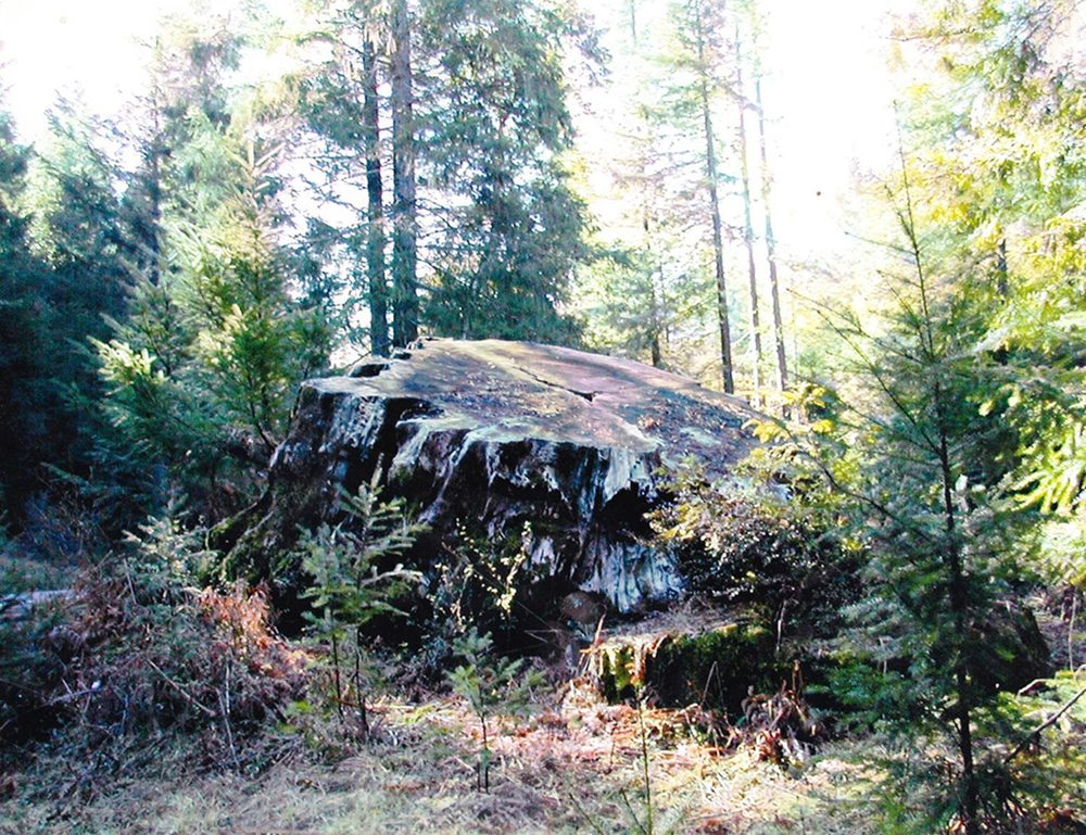 Redwood stump in forest