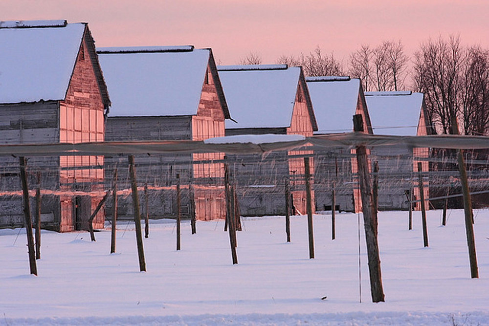 Connecticut tobacco barns in winter