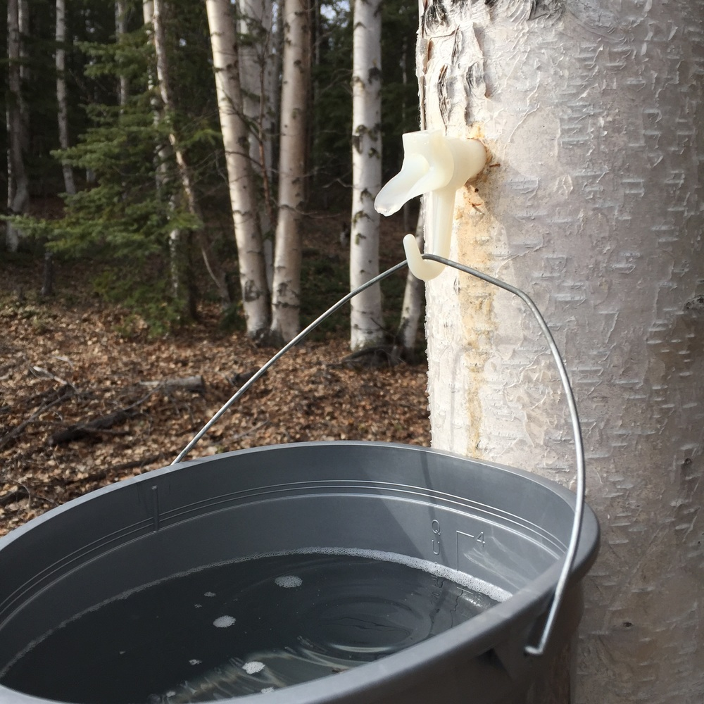 Tapping Birch Trees | 14 Mile Farm Handweaving and Homesteading in Alaska