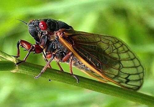 Cicader