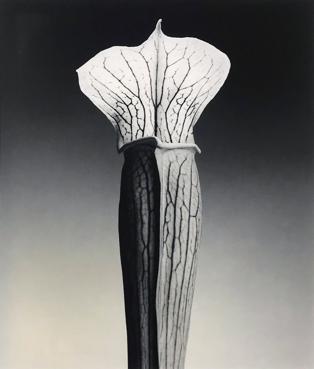 Robert Mapplethorpe. Jack in the Pulpit, 1988.