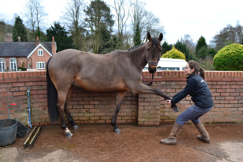 Horse Physiotherapy - joint mobilisation and stretching can help to improve range of movement, assisting in recovery and prevention form injuries