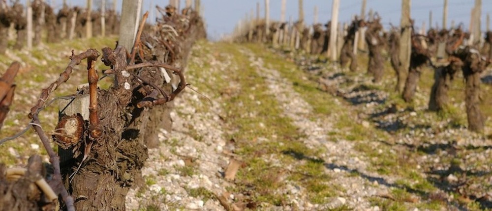 Winter vineyard in Bordeaux