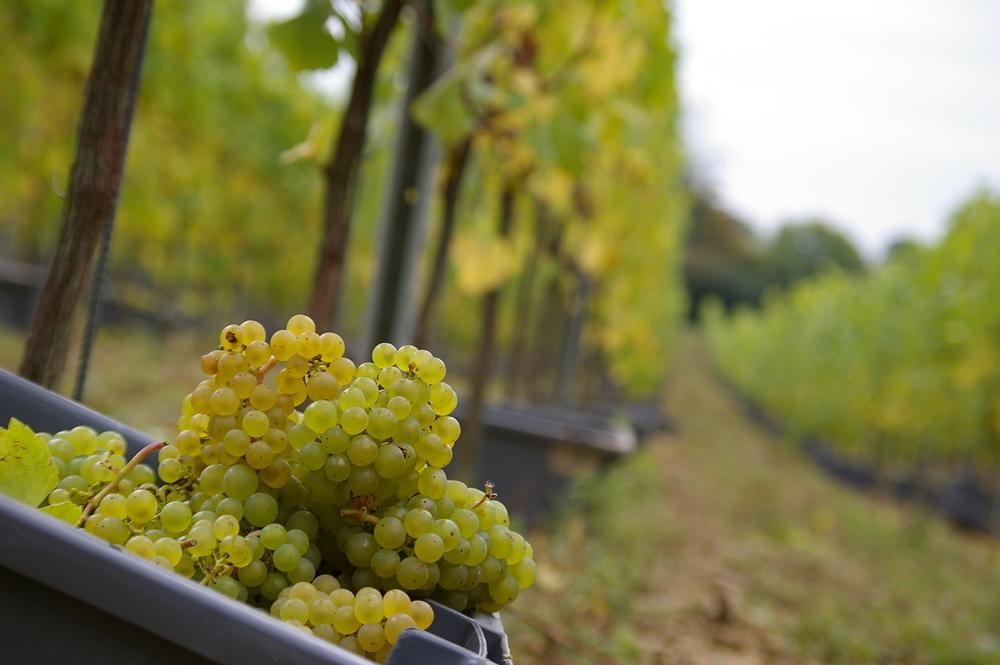 Chardonnay harvest in Kent