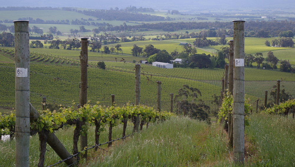 Giant Steps vineyard, Yarra Valley