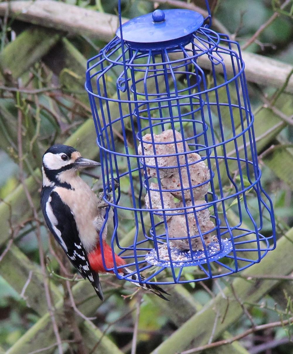 A great spotted woodpecker in my garden!