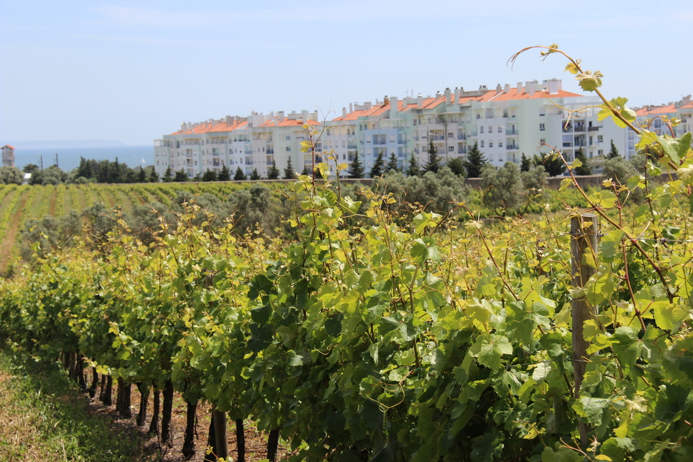 Apartment blocks abutting Carcavelos vineyard