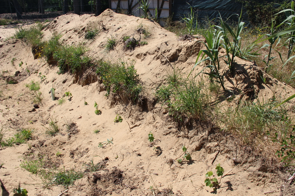 New, ungrafted vines are planted in a trench in the sand in Colares