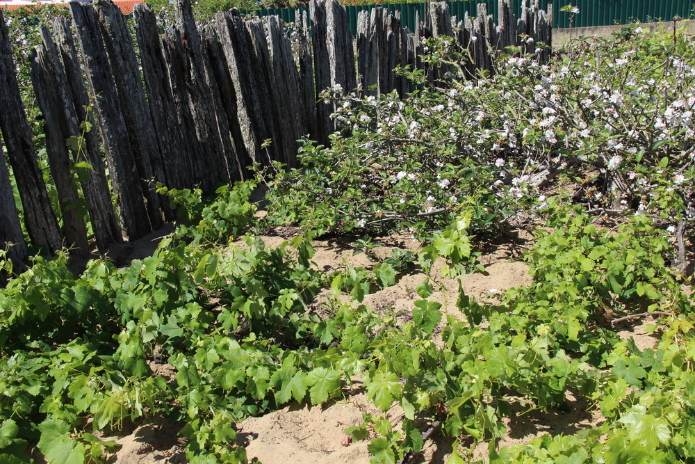 Low-trained vines are co-planted with apple trees