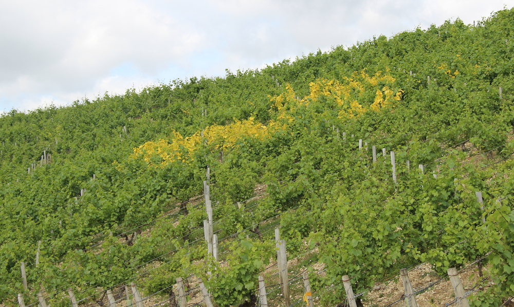 Unidentified viral infection in Chablis Grand Cru