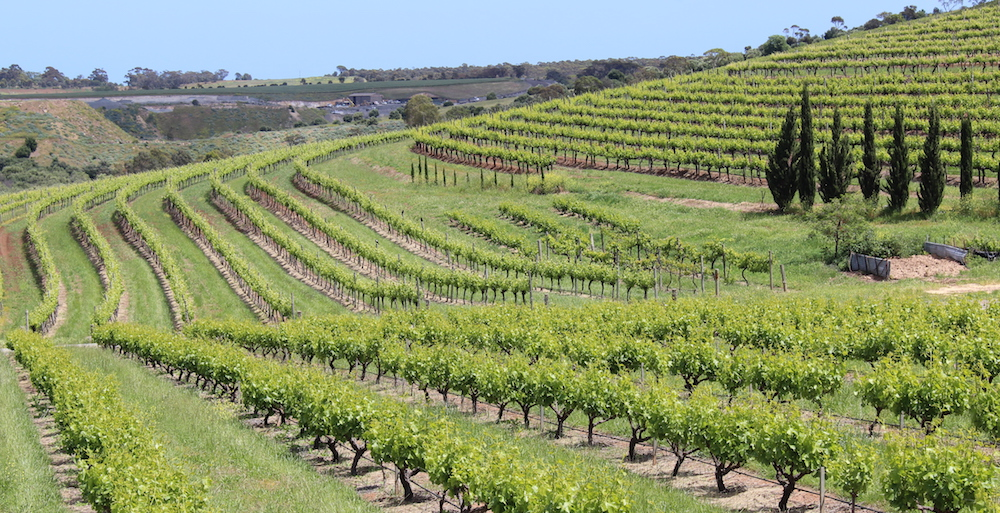 Spring vines at Coriole, McLaren Vale