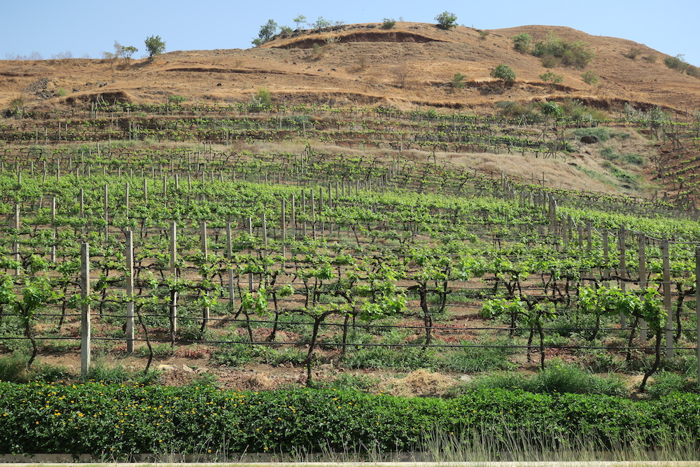 Hillside vineyards at Grover Zampa, Nashik.