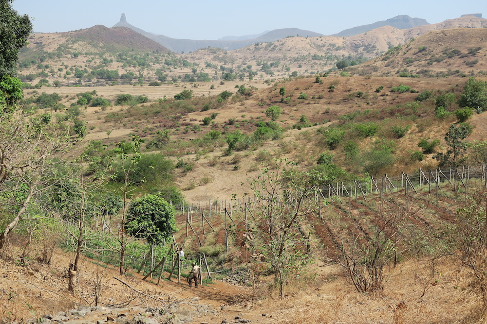 Vineyards at Grover Zampa, Nashik.